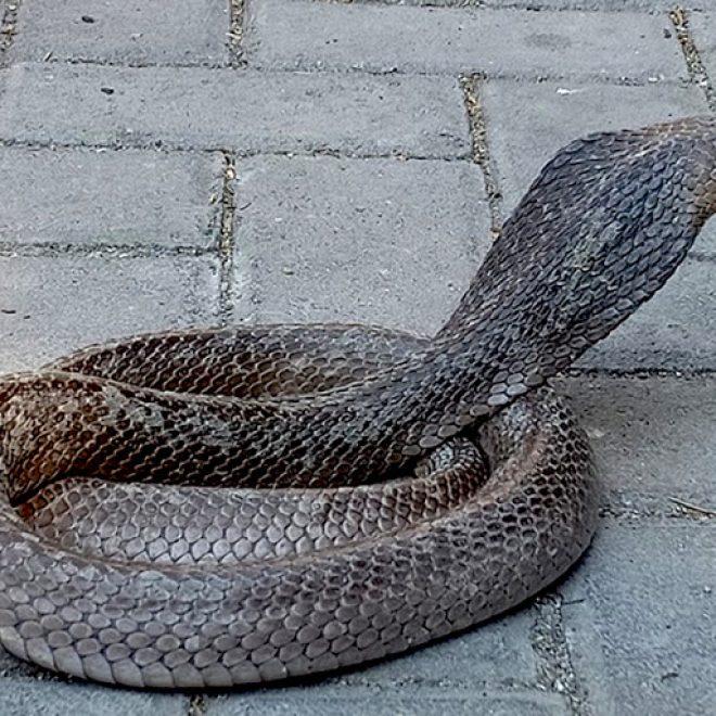 Viral HEBOH! Ular King Cobra Loloskan Diri dari Paket yang Akan Diantar